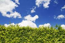 Beech Hedge with blue sky von aremak