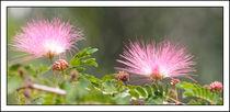 Mimosa Flower von eifel-wildlife