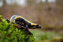 Lange schallt ́s im Walde noch, Salamander lebe hoch! von eifel-wildlife