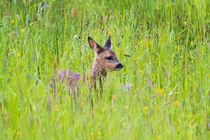 Rehkitz by eifel-wildlife