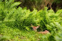 Im Farnwald von eifel-wildlife