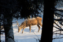 Winterhirsch von eifel-wildlife