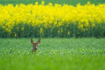 Rapsfeld von eifel-wildlife