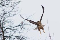 Eifeladler von eifel-wildlife