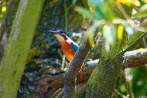 Eisvogel by eifel-wildlife