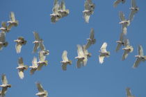 Little Corellas von eifel-wildlife