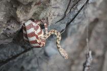 Brown Tree Snake von eifel-wildlife