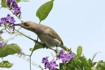 Honeyeater by eifel-wildlife