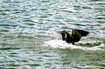 cormorant landing on water - Kormoran bei der Wasserlandung von mateart
