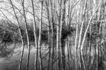 Birken im Hochwasser by Erhard Hess