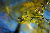 spring birches by Elena Laska