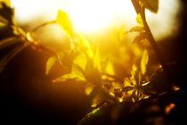 branches in the sunshine von Elena Laska