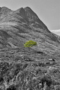 Lone Tree by David Pringle
