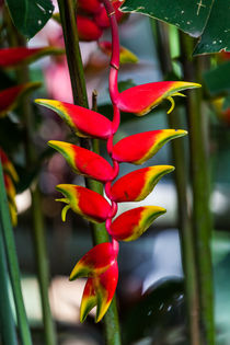 lobster claw heliconia by Craig Lapsley