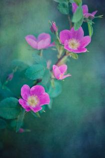 wild roses von Priska  Wettstein