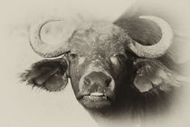 Kaffernbüffel by Ralph Patzel