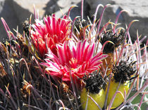 Barrel Cactus in Late Bloom, Red Flowers, Yellow Fruit von Terry Kepner