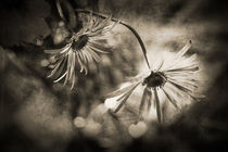 Two Daisies in Mono Color by olgasart