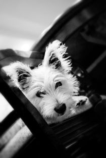 Puppy West Highland White Terrier von olgasart