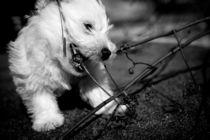 Puppy West Highland Terrier von olgasart