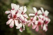 Pale Pink Pelargonium Flowers by olgasart