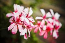 Bright Pelargonium Flowers von olgasart