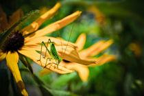 Grasshopper on a Flower von olgasart