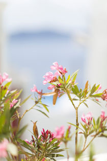 Oleander by Sam Loman