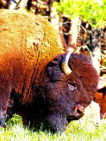 Scratching Buffalo by Ellen Bollinger