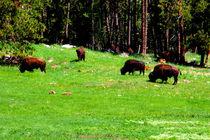 Buffalo afield by Ellen Bollinger