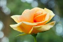 The Rose von Ralph Patzel