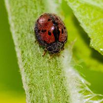 hairy ladybug von Craig Lapsley