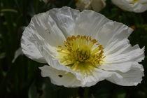 White Poppy by alina8