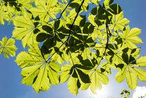Grüne Blätter und blauer Himmel im Frühling von Matthias Hauser