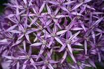 violette Sternchen by Bettina Schnittert