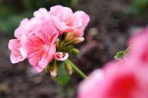 Pelargonium Flower After Rain by olgasart