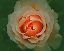 Memory of a Rose von CHRISTINE LAKE