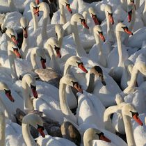 Swans Swans Swans by Jukka Palm