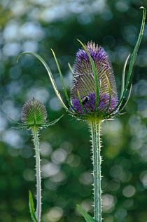 Fading Teasel Flower von Rod Johnson