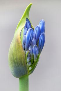 blaue Blüte von Ruby Lindholm