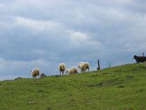 Schafe vorm Aufbruch von Fanny Prankl