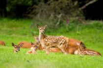Rotwild-Kindergarten von eifel-wildlife
