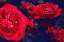 roses and colors von massimiliano cori