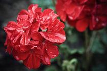 Pelargonium Red Flower by olgasart