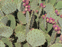 Prickly-pear-1931-8243x6182