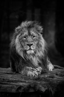 Lion Black and White by P M