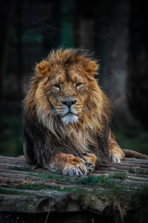 Lion - The King of Beasts by P M