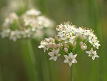 Zarte Blütensternchen by Brigitte Deus-Neumann