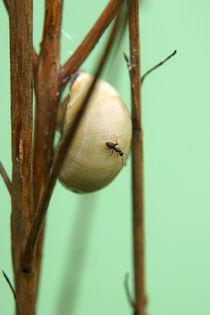 Ameisenschnecke von Bastian  Kienitz