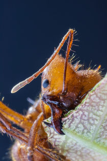 leafcutter ant jaws von Craig Lapsley